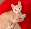 [picture of Canary, a Domestic Short Hair calico cat]