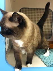 [picture of Daisy, a Siamese chocolate point cat]