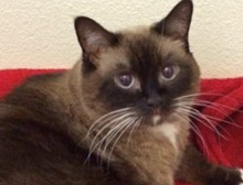 [picture of Daisy, a Siamese chocolate point\ cat]