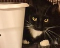 [picture of Mistie, a Domestic Short Hair black/white cat]