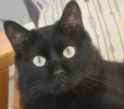 A picture of #ET01142: Simbajon a Domestic Medium Hair black