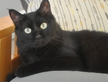 [another picture of Simbajon, a Domestic Medium Hair black\ cat]