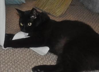 [picture of Simbajon, a Domestic Medium Hair black cat]