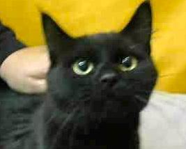 [picture of Simbajon, a Domestic Medium Hair black\ cat]