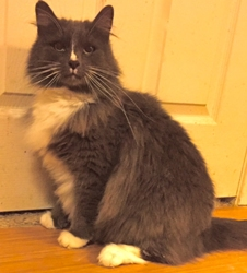 [picture of Safyre, a Maine Coon-x blue/white cat]