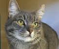 A picture of #ET01151: Shireen a Domestic Medium Hair silver