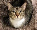 A picture of #ET01181: Alvina a Domestic Short Hair gray tabby