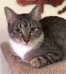 [picture of Alvina, a Domestic Short Hair gray tabby cat]