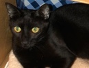 A picture of #ET01183: Simon a Domestic Short Hair black tabby