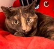 A picture of #ET01184: Sparkle AKA Siracha a Domestic Short Hair dilute tortie