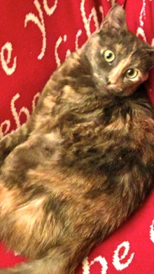 [picture of Siracha, a Domestic Short Hair dilute tortie cat]