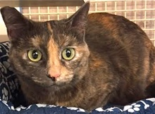 [picture of Sparkle, a Domestic Short Hair dilute tortie cat]