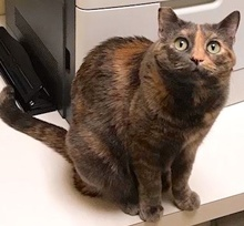 [picture of Siracha, a Domestic Short Hair dilute tortie\ cat]