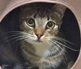 A picture of #ET01226: Sweet Paws a Domestic Short Hair brown tabby/white