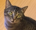 A picture of #ET01230: Alex a Domestic Short Hair gray tabby