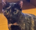A picture of #ET01231: Bridget a Domestic Short Hair tortie
