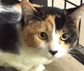 A picture of #ET01239: Penelope a Domestic Medium Hair calico