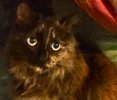A picture of #ET00124: Torta a Maine Coon-x tortie