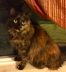 [picture of Torta, a Maine Coon-x tortie cat]