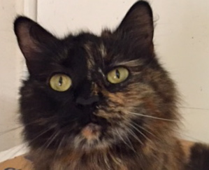 [picture of Torta, a Maine Coon-x tortie\ cat]