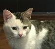 A picture of #ET01252: Shamrock a Domestic Medium Hair white/gray