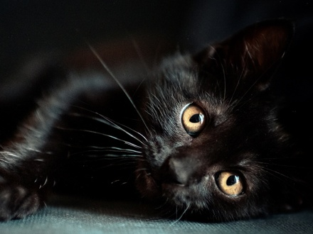 [picture of Pizelle, a Bombay black\ cat]