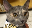 [picture of Granita, a Domestic Short Hair blue cream cat]