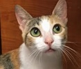 A picture of #ET01280: Freya AKA Olivia a Domestic Short Hair calico