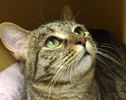 A picture of #ET01286: Eva a Domestic Short Hair gray tabby
