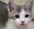 A picture of #ET01288: Kovu a Domestic Short Hair silver/white