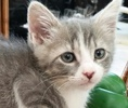 A picture of #ET01290: Kion a Domestic Short Hair silver/white