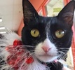 A picture of #ET01293: Seychelle a Domestic Short Hair black/white tuxedo