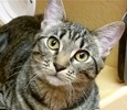 A picture of #ET01300: Jenny a Domestic Short Hair gray tiger tabby