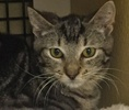A picture of #ET01304: Roxy a Domestic Short Hair gray tabby