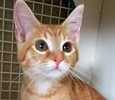 A picture of #ET01309: Calista a Domestic Medium Hair orange