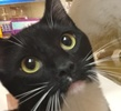 A picture of #ET01318: Frenchi a Domestic Short Hair black/white tuxedo