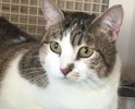 A picture of #ET01319: Madre a Domestic Short Hair bobtail brown tabby w/white