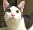 A picture of #ET01322: Fritz a Domestic Short Hair blue/white