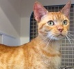 A picture of #ET01327: Candy a Egyptian Mau Arabian orange
