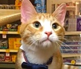 A picture of #ET01331: Gum Drop a Domestic Short Hair orange/white