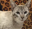 A picture of #ET01332: Lovebug a Siamese lynx point