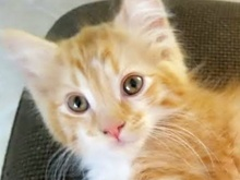A picture of #ET01333: Tommy a Domestic Medium Hair white/orange