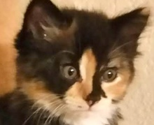 A picture of #ET01336: Gina a Domestic Medium Hair calico