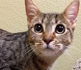 A picture of #ET01339: Kona a Domestic Short Hair gray spot tabby