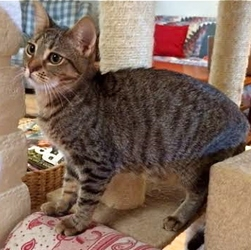 [picture of Kona, a Domestic Short Hair gray spot tabby cat]