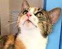 A picture of #ET01342: Sybella a Domestic Short Hair calico