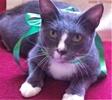 A picture of #ET01343: Zela a Domestic Short Hair blue/white tuxedo