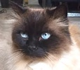 A picture of #ET01345: Ziggy a Persian long hair seal point