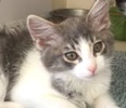 A picture of #ET01347: Lyda a Domestic Medium Hair blue/white