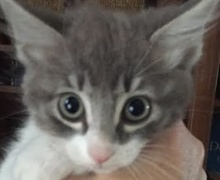 A picture of #ET01348: Nika a Domestic Medium Hair blue/white